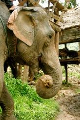 Chiang Mai: Gefangene Elefanten