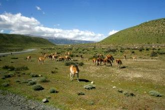 Lamas im Torres del Paine