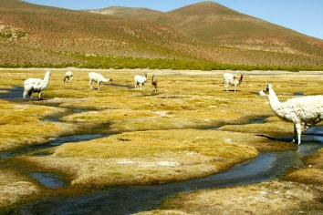 Auf dem Weg nach Salar de Uyuni - Lamabegegnung