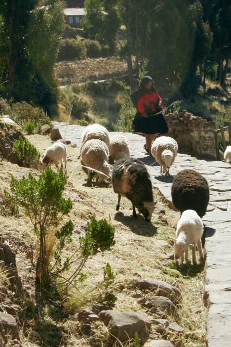 Titikakasee: Schafe eintreiben