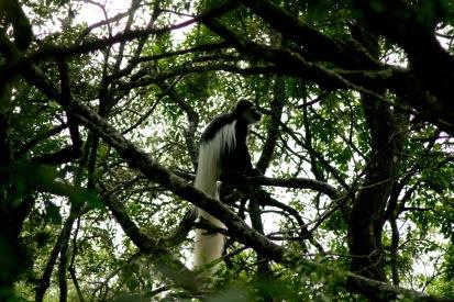 Arusha Nationalpark: schwarze Stummelaffen