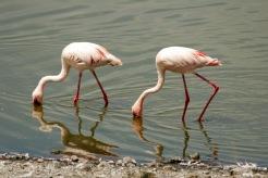 Arusha Nationalpark: Pelikane beim Fischen