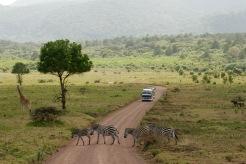 Arusha Nationalpark: Zebrastreifen