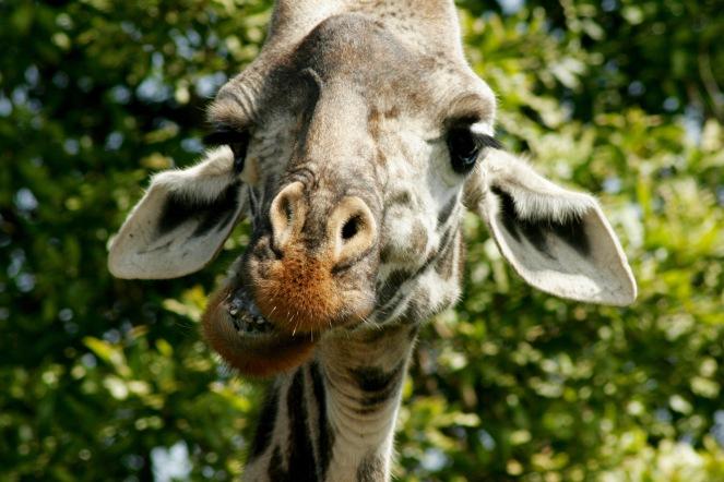 Arusha Nationalpark: fressende Giraffe