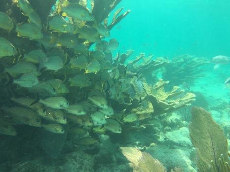 Unterwasserwelt in Belize: hunderte Fischchen