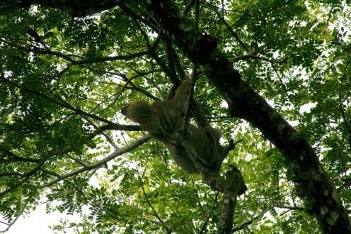Faultier im Manuel Antonio Nationalpark