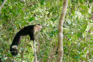 Äffchen im Manuel Antonio Nationalpark