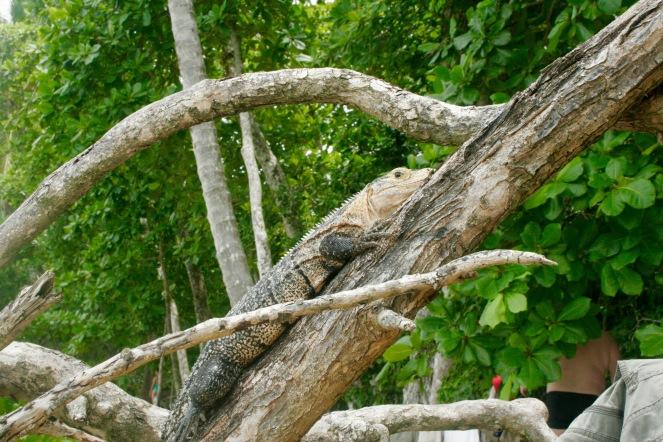Riesige Echse im Manuel Antonio Nationalpark