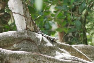 Echsen im Manuel Antonio Nationalpark