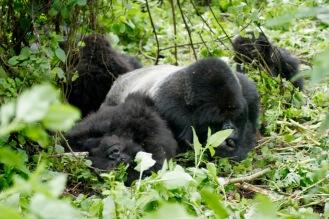 Wunderbare Szenen beim Gorilla Trekking: Silberrücken