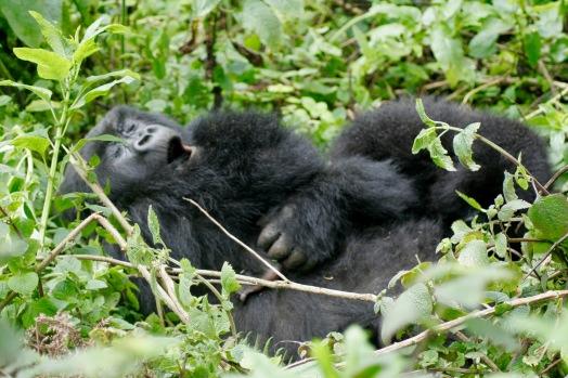 Wunderbare Szenen beim Gorilla Trekking: Mama mit Baby