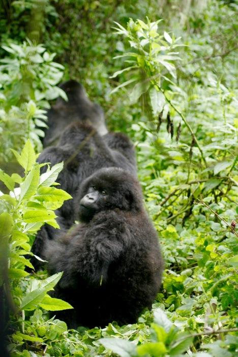 Wunderbare Szenen beim Gorilla Trekking: Neugierig