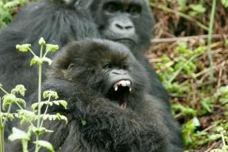 Wunderbare Szenen beim Gorilla Trekking: Müde