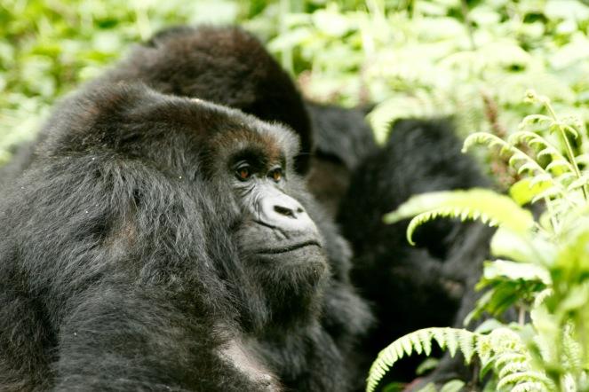 Wunderbare Szenen beim Gorilla Trekking