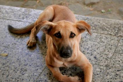 Wunderschöner Hund in San Marcos am Lago Atitlan