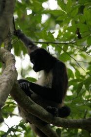 Tikal: Affenbande