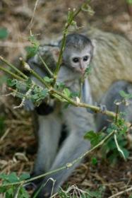 Babyaffe am Lake Manyara