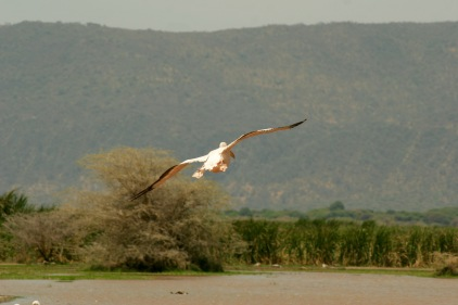 Zahlreiche Pelikane am Lake Manyara