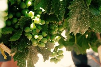 Weinreben in Mendoza