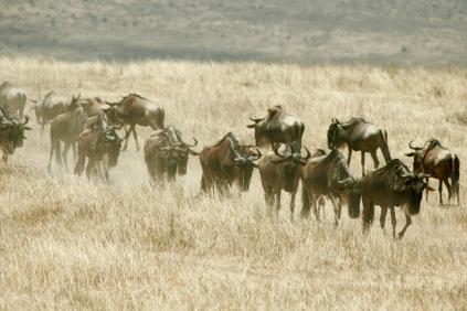 Gnuwanderung im Ngorongoro Krater