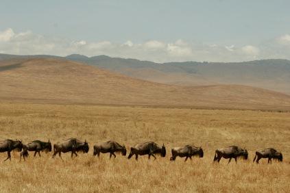 Unzählige Gnus im Ngorongoro Krater