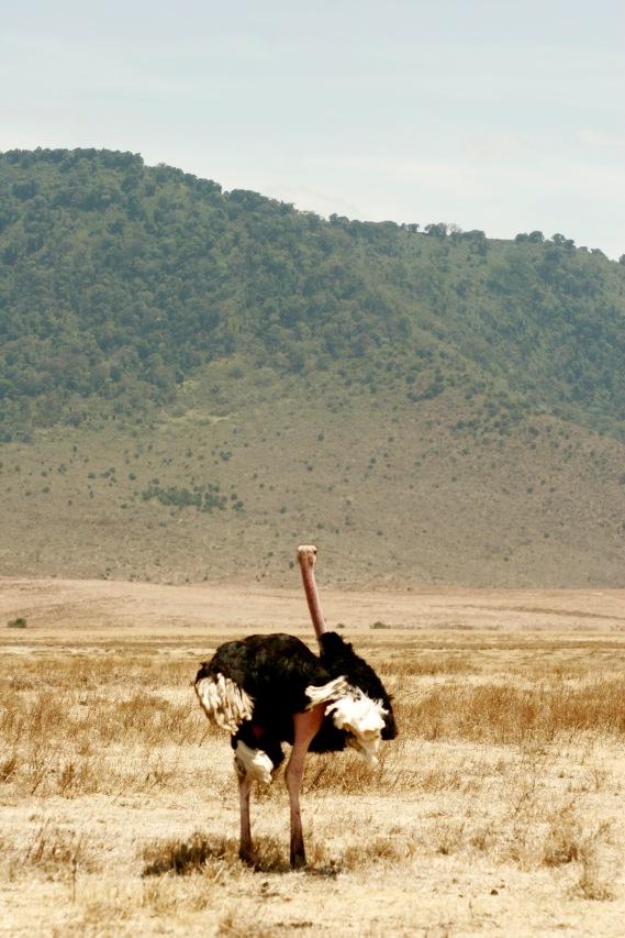 Vogel Strauß rennt durch den Ngorongoro Krater
