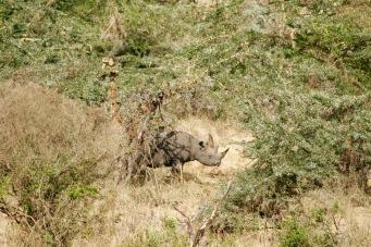 Nashorn im Ngorongoro Krater - Big Five gesehen!
