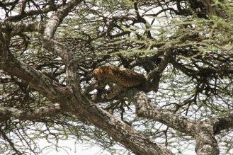 Schlafender Leopard in der Serengeti