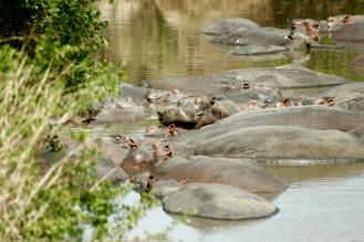 Nilpferde in der Serengeti