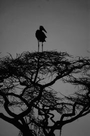 Marabu Storch in der Serengeti