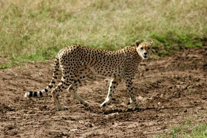 Gepard direkt bei unserem Jeep in der Serengeti