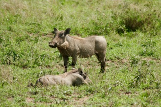 Warzenschweine aka Pumbas in der Serengeti