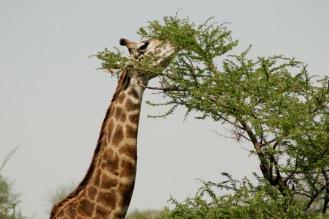 Bis an die höchsten Äste in der Serengeti