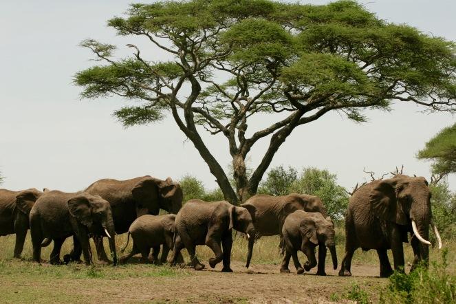Elefantenherde in der Serengeti