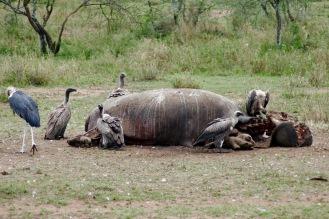 Geier fressen ein totes Nilpferd in der Serengeti