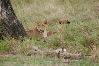 Löwinnen in der Serengeti