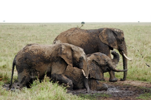 Elefanten beim Schlammbad in der Serengeti