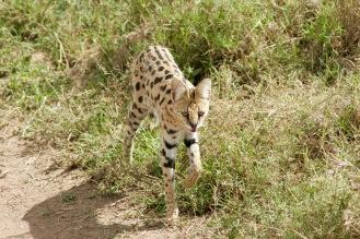 Serval Wildkatze in der Serengeti