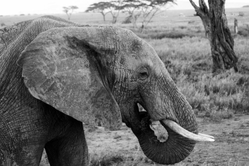 Elefant bei der Nahrungssuche in der Serengeti