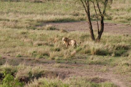 Fund während der Morgensafari in der Serengeti