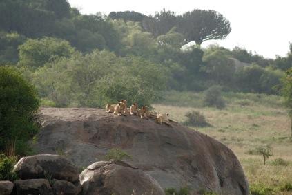 Löwenfamilie wärmt sich in den Morgenstunden in der Serengeti