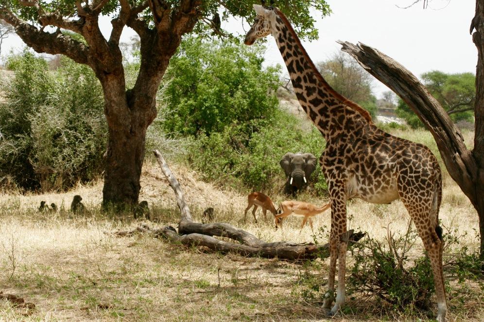 Perfektes Bilder - Elefant, Giraffe, Gazellen und Affen