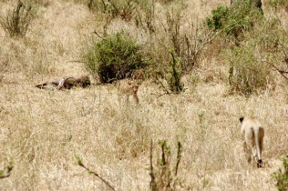 Löwen mit Beute im Tarangire Nationalpark