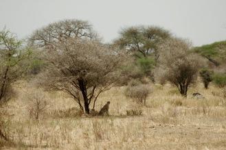Gepard im Tarangire Nationalpark