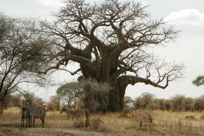 Massive Baobab Bäume im Tarangire Nationalpark