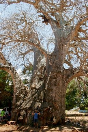 Riesige Bäume auf Sansibar