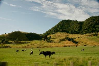 Glückliche Kühe, grüne Wiesen & Hügel