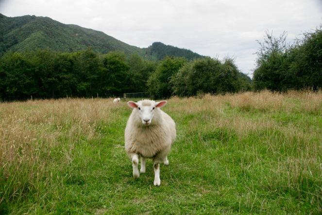 Schaf-Hund oder Hunde-Schaf auf der Smith Farm