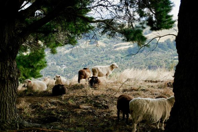 Schäfchen in Akaroa