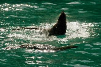 Spielende Robben bei Akaroa